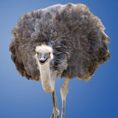 Isolated Ostrich — Stock Photo