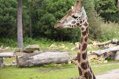 Giraffe — Photo