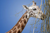 Giraffe Isolated — Stock Photo