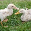 Two white ducks - Stock Photo
