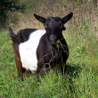 Stock Photo: Goat grazed