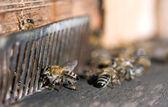 Honeybee flying — Stock Photo