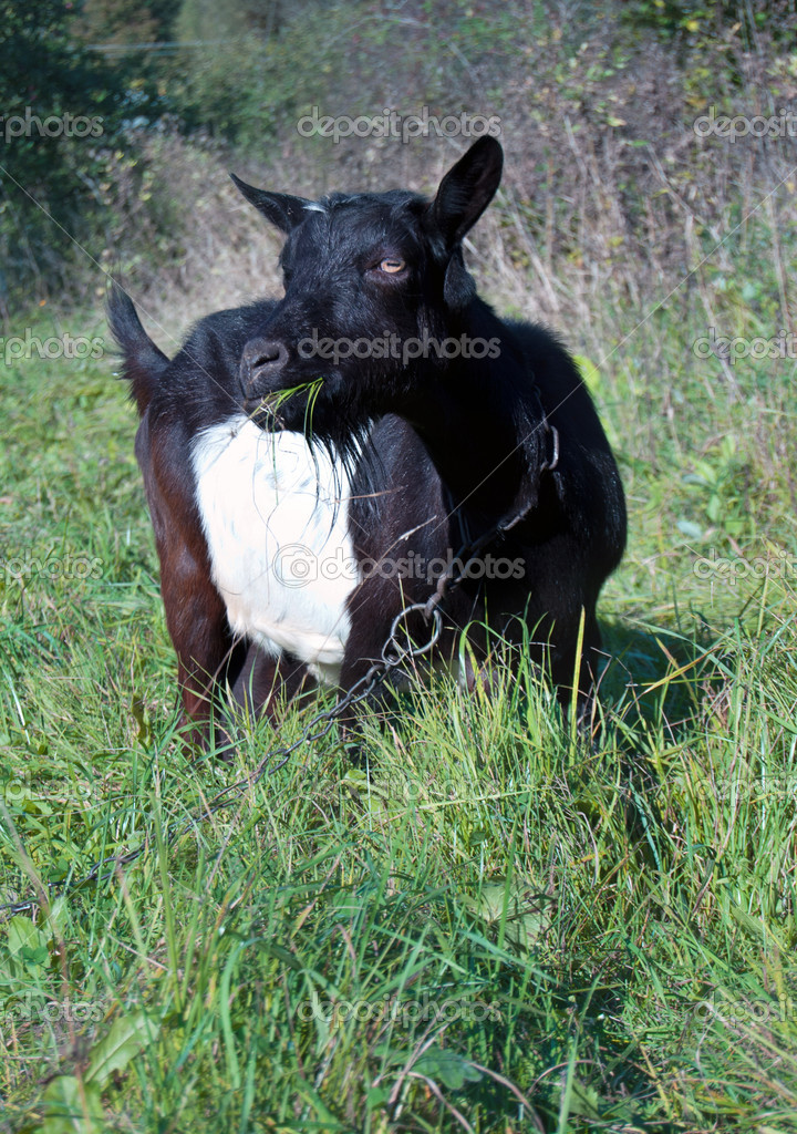A goat grazed on a meadow  — Stock Photo #13785698
