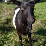 Goat grazed — Stock Photo
