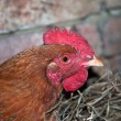 Red chicken head — Stock Photo