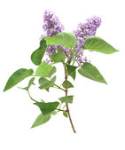 Lilac is isolated — Stock Photo