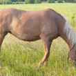 Horse grazes — Stock Photo