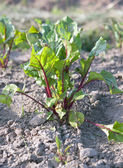 Plant beet — Stock Photo
