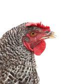 Head hen — Stock Photo
