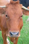 Orange cow — Stock Photo