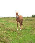 Orange horse — Stock Photo