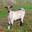 Stock Photo: Goats graze