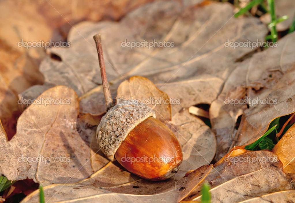 橡树和橡子 — 图库照片08petrop#34456821