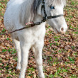 White single pony — Stock Photo