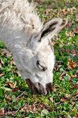 A lama — Stock Photo