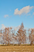 Tree of birchs — Stock Photo