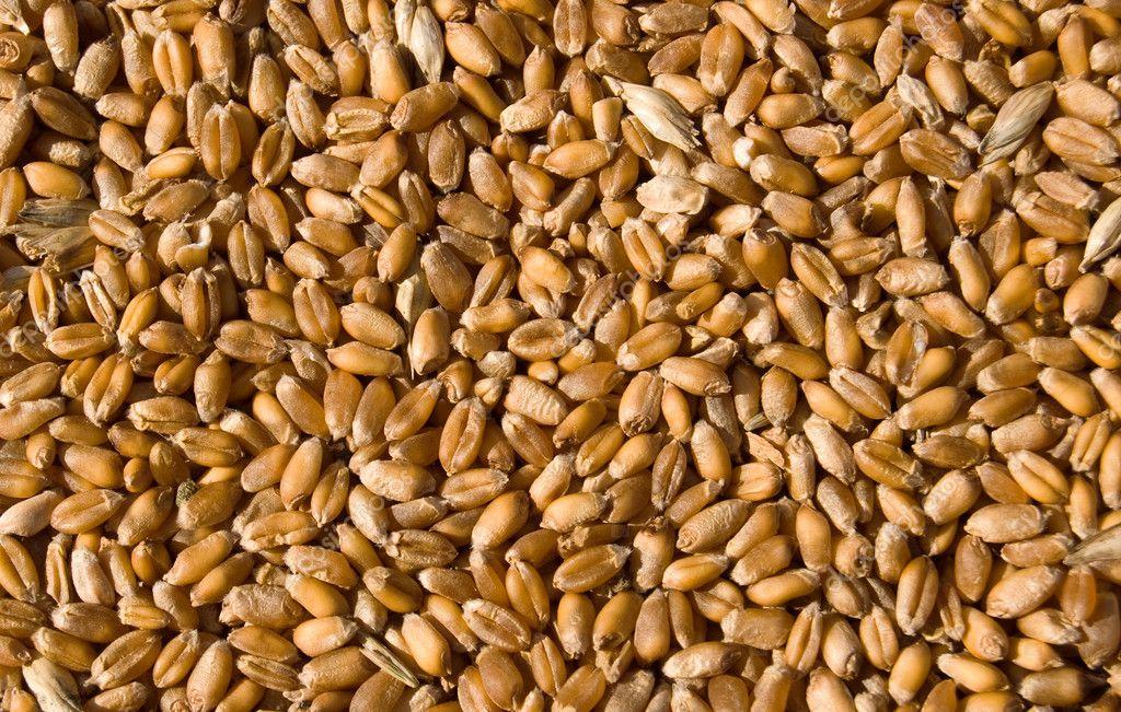 从黄金小麦籽粒的质地