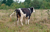 Cow urinating — Stockfoto