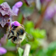 Bumble-bee — Stock Photo #44300903