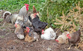 Hens in farm — Stock Photo