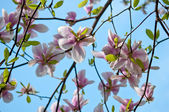 Magnolia tree — Stockfoto