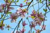 Magnolia tree — Stock Photo