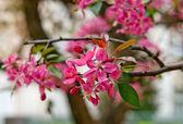 Sakura close up — Stockfoto