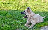 Hund auf der grünen Wiese — Stockfoto