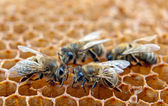 Working bees on honeycells — 图库照片
