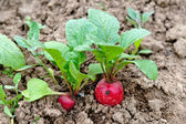 Radishes in the field — Stock Photo