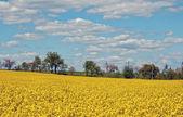 Kolza tohumu alan — Stok fotoğraf