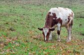 Cow pastures — Stock Photo