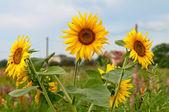 Tři slunečnice — Stock fotografie