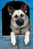 Sheep dog — Stock Photo