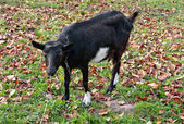 Black goats graze — Stock Photo