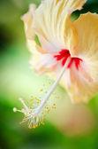 Hibisco — Foto de Stock