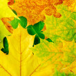 Maple leaves — Stock Photo #12470771