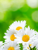 Daisy flowers on green background — Stock Photo