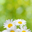 Daisy flowers on green background — Stock Photo #19861331
