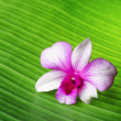 Orchid flower lies on green leaf - Stock Photo