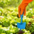 Stock Photo: Womin orange gloves working in garden