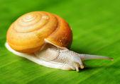 Snail creeps on green leaf. — Stock Photo