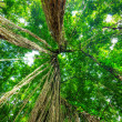 Green trees in tropical rainforest — Stock Photo