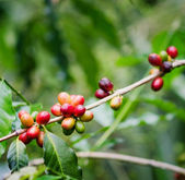 Coffee beans on the branch. Robusta Coffee — Stock Photo