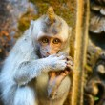 Monkeys in a stone temple. Bali Island, Indonesia — Stock Photo