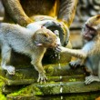 Monkeys in a stone temple. Bali Island, Indonesia — Stock Photo #32386215