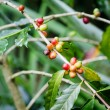 Coffee beans on the branch. Robusta Coffee — Stock Photo #33213565