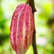 Ripe cacao bean on the wood — Stock Photo