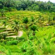 Ricce terrace of Bali Island, Indonesia — Stock Photo #34263769