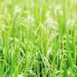 Green rice field — Stock Photo #34263779